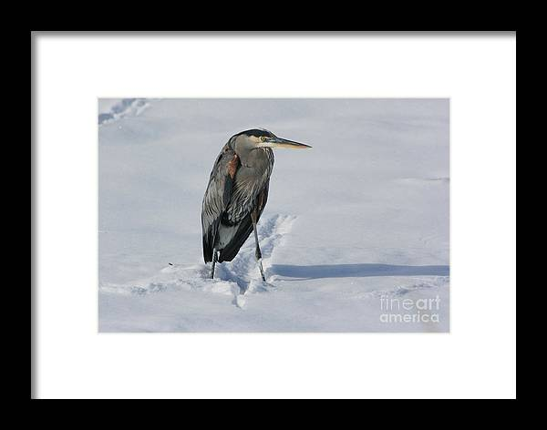 Great Blue Heron Framed Print featuring the photograph Cold Feet by Marty Fancy