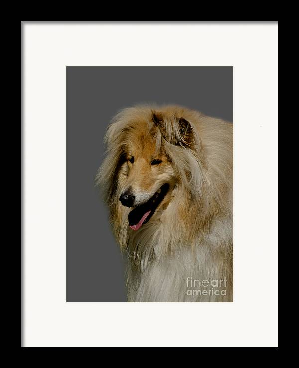 Grey Background Framed Print featuring the photograph Collie Dog by Linsey Williams