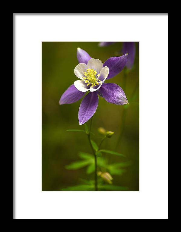 Colorado Framed Print featuring the photograph Colorado State Flower by Teri Virbickis