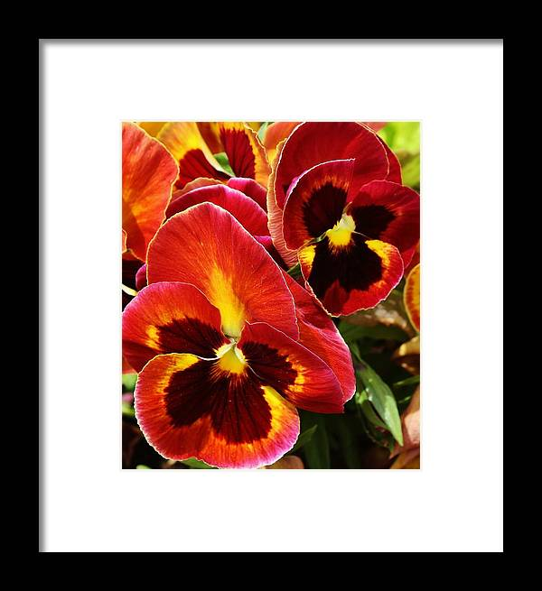 Flora Framed Print featuring the photograph Colorful Pansies by Bruce Bley