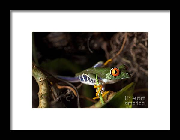 Red Framed Print featuring the photograph Colorful Red Eyed Tree Frog by Brandon Alms