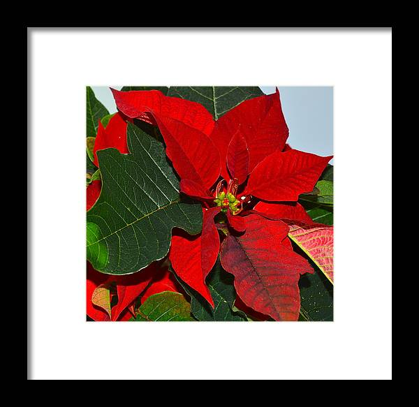 Poinsettia Framed Print featuring the photograph Colors Of Christmas by Rita Mueller