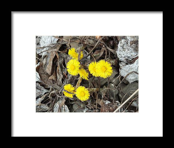 New England Framed Print featuring the photograph Coltsfoot by Gene Cyr