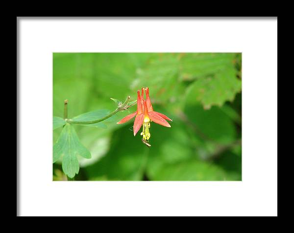 Flower Framed Print featuring the photograph Columbine 2 by Lew Davis