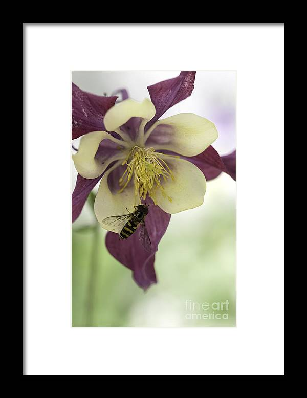 Bee Framed Print featuring the photograph Columbine And The Bee by Carolyn Fox