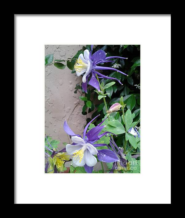 Columbines Exquisite Blooms Framed Print featuring the photograph Columbines Exquisite Blooms by DJ Laughlin