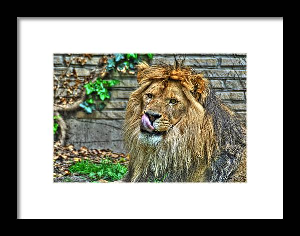 Lion Framed Print featuring the photograph Come A Lil Closer...mmmmm... by Michael Frank Jr