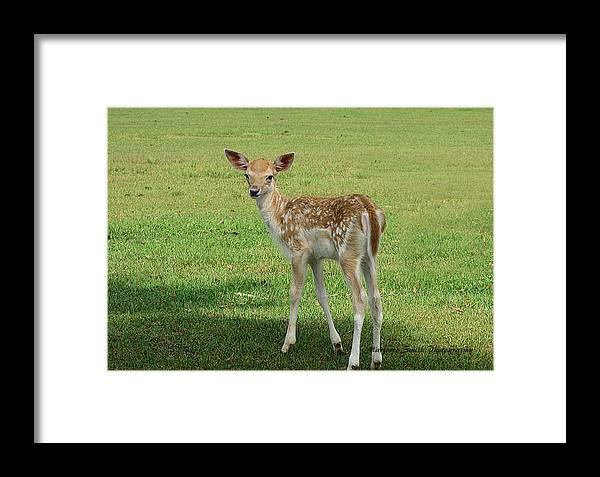 Young Deer...global Wildlife Reserve Framed Print featuring the photograph come on Momma by Marjorie Smith