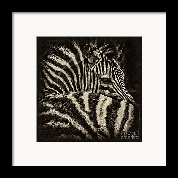 Zebra Framed Print featuring the photograph Comfort by Andrew Paranavitana