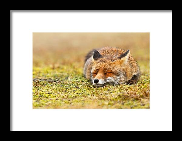 Fox Framed Print featuring the photograph Comfortably Fox by Roeselien Raimond