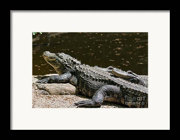 Alligator Framed Print featuring the photograph Comfy Cozy by Lois Bryan