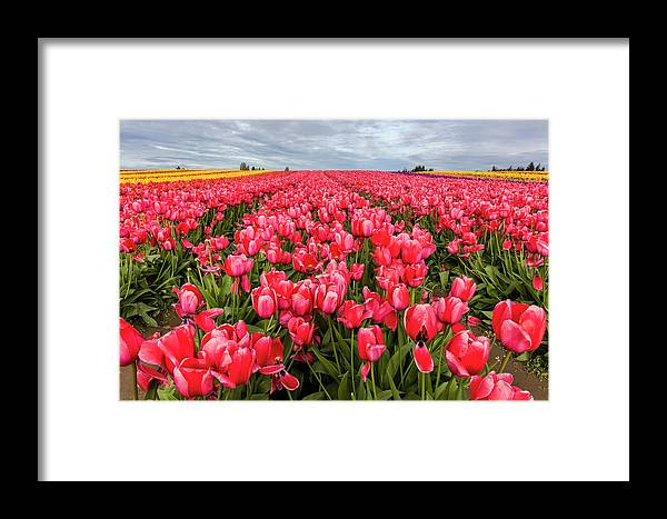 Agriculture Framed Print featuring the photograph Commercial Tulip Field In Bloom by Chuck Haney