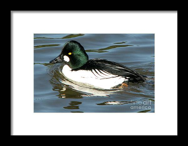 Common Goldeneye Framed Print featuring the photograph Common Goldeneye by Frank Townsley