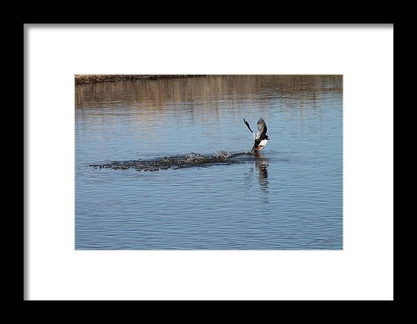 Ducks Framed Print featuring the photograph Common Goldeneye Takeoff by Wayne Williams
