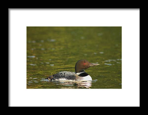 Loon Framed Print featuring the photograph Common Loon by Liam Brennan