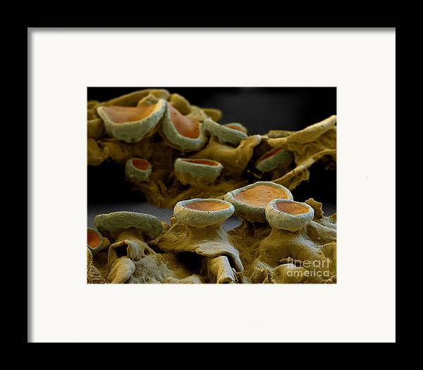 Alga Framed Print featuring the photograph Common Orange Lichen by Eye of Science