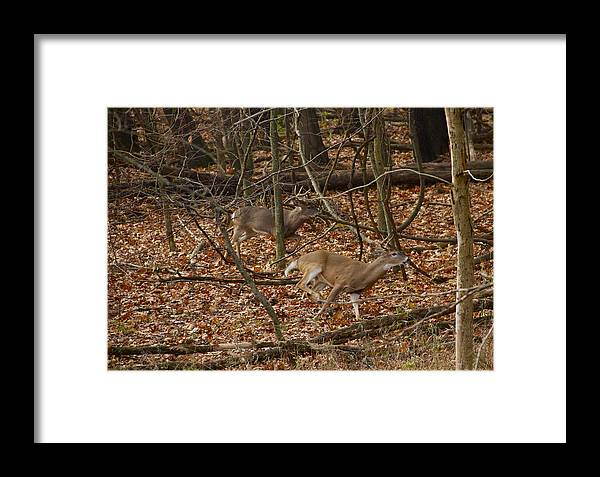 Bucks Framed Print featuring the photograph Competition by Kimberly Davidson