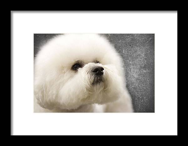 Bichon Framed Print featuring the photograph Concentration by Rebecca Cozart