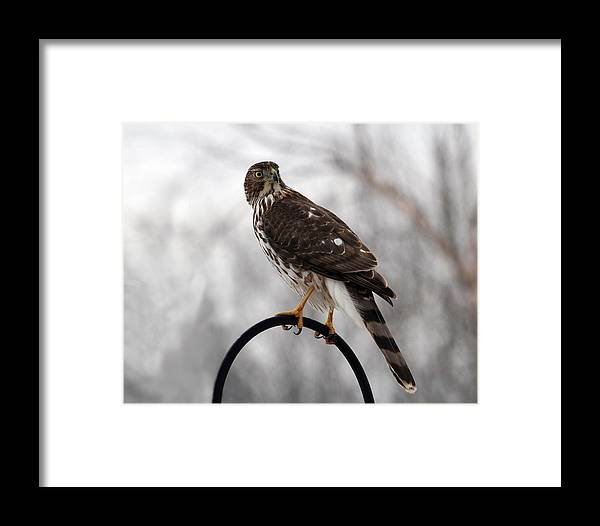 Coopers Hawk Framed Print featuring the photograph Coopers Hawk by Jackson Pearson