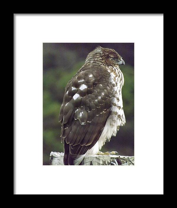 Framed Print featuring the photograph Cooper Hawk Side by Randy Esson