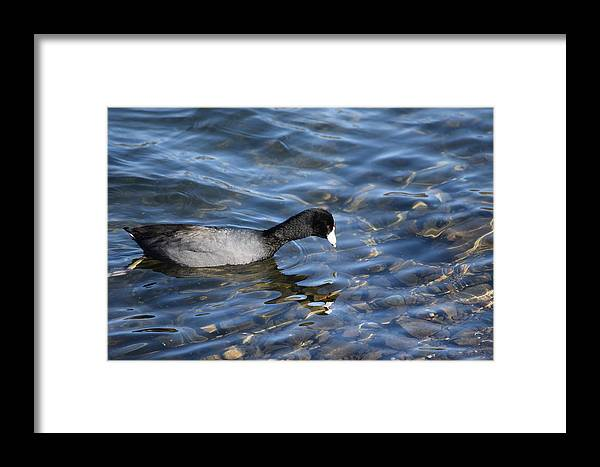Coot Framed Print featuring the photograph Coot by Eric Johansen