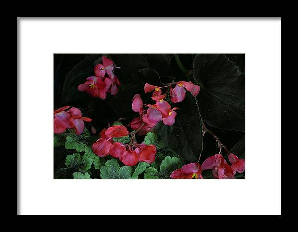 Nature Framed Print featuring the photograph Coral Petals by Barbara Hart