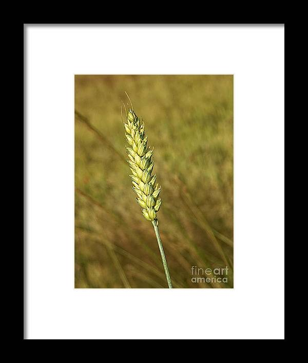 Corn Framed Print featuring the photograph Corn Head by Roman Milert