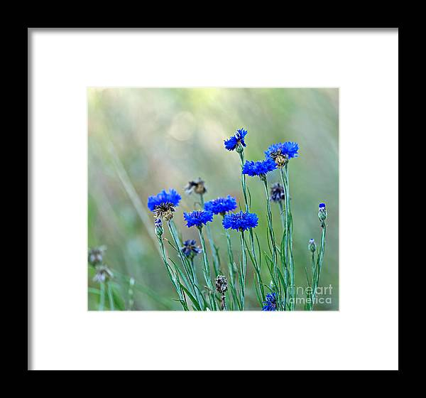 Cornflower Framed Print featuring the photograph Cornflowers by Louise Heusinkveld