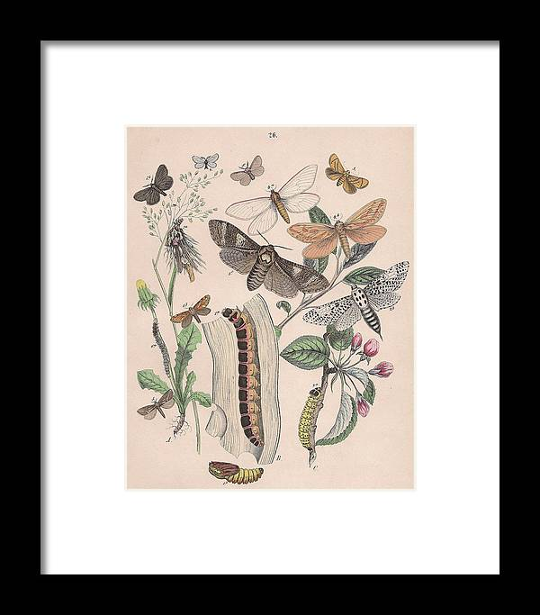 Butterfly Framed Print featuring the drawing Cossidae - Cochliopodidae - Hepialidae - Psychidae by W Kirby