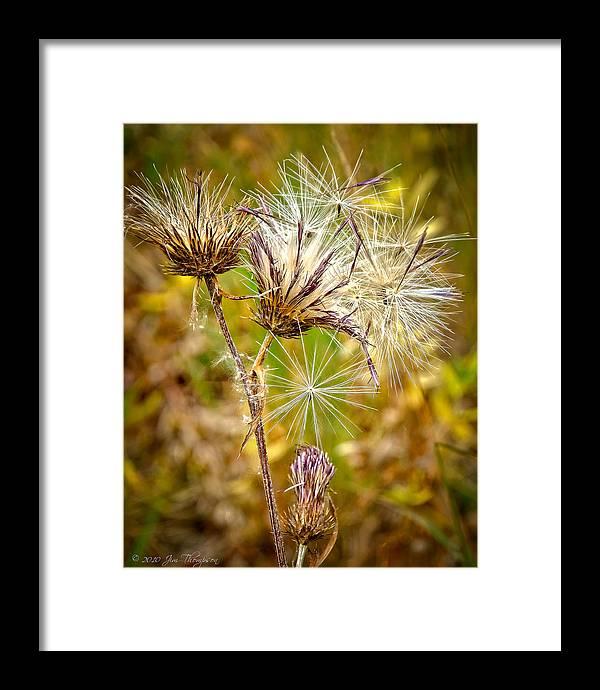 Cotten Grass Framed Print featuring the photograph Cotten Grass by Jim Thompson
