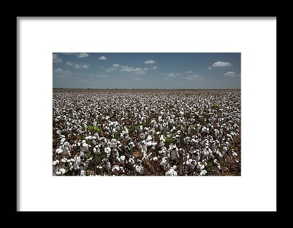 Cotton Framed Print featuring the photograph Cotton Plants by Jim West