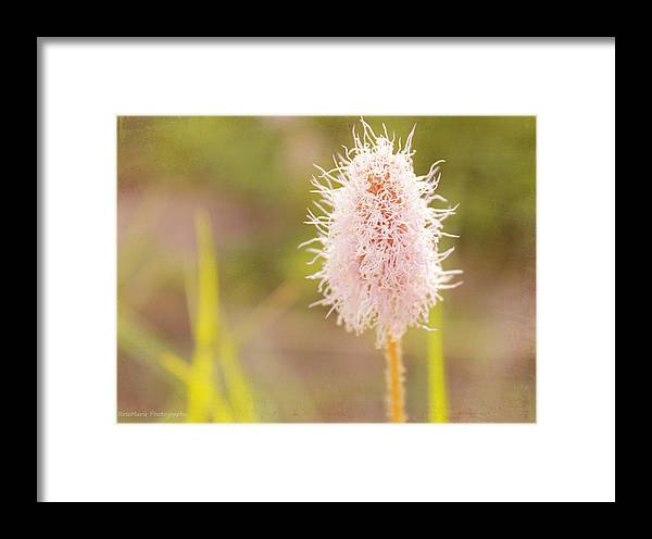 Flowers Framed Print featuring the photograph Cotton Puff by Vanessa Parent