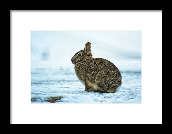 Cottontail Framed Print featuring the photograph Cottontail Rabbit by Christy Patino