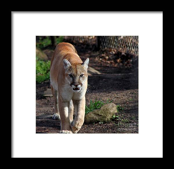Animal Framed Print featuring the photograph Cougar Walking Towards You by Eva Thomas
