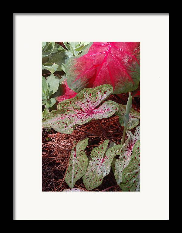 Caladium Framed Print featuring the photograph Courtyard Caladium by Suzanne Gaff
