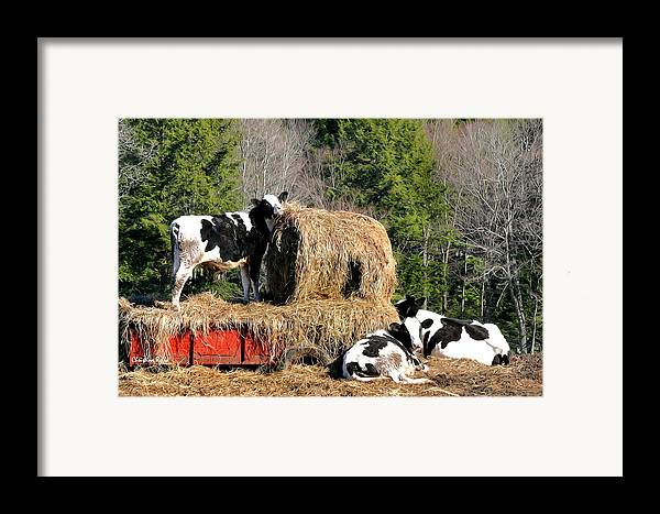Cow Framed Print featuring the mixed media Cow Country Buffet by Christina Rollo