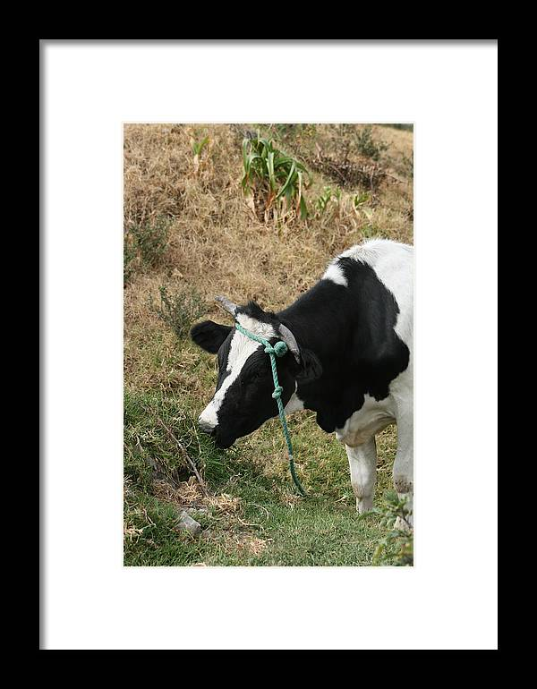 Cow Framed Print featuring the photograph Cow Eating Grass by Robert Hamm