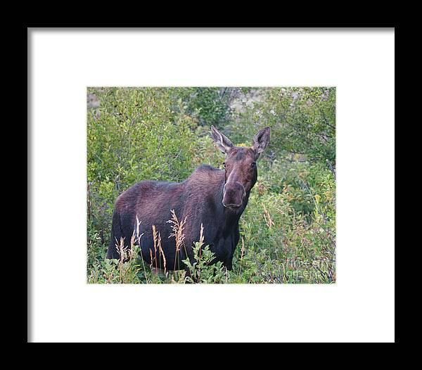 Cow Moose Framed Print featuring the photograph Cow Moose Portrait by Timothy Flanigan and Debbie Flanigan