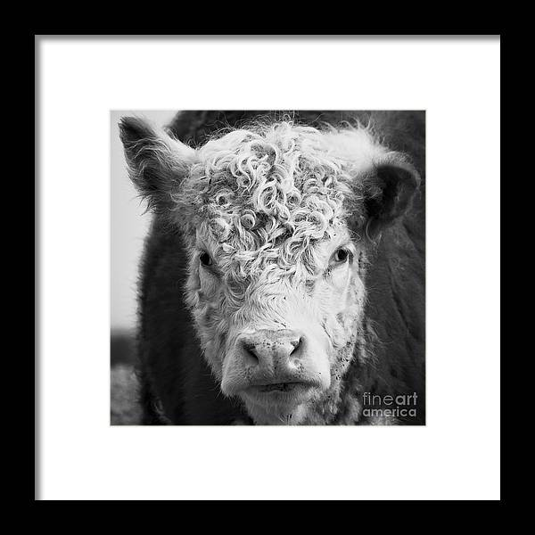 Cow Framed Print featuring the photograph Cow Square by Edward Fielding