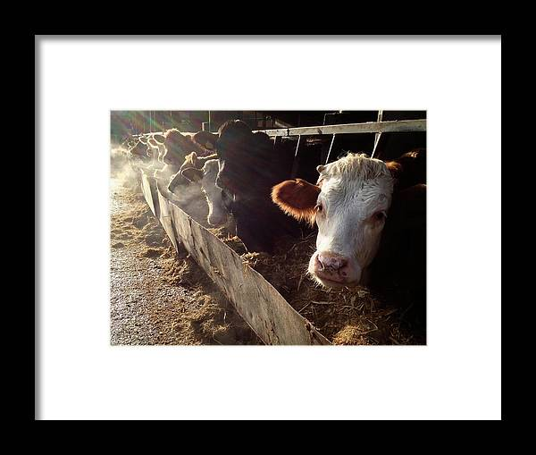 In A Row Framed Print featuring the photograph Cows Looking Out Of A Barn by James Ephraums