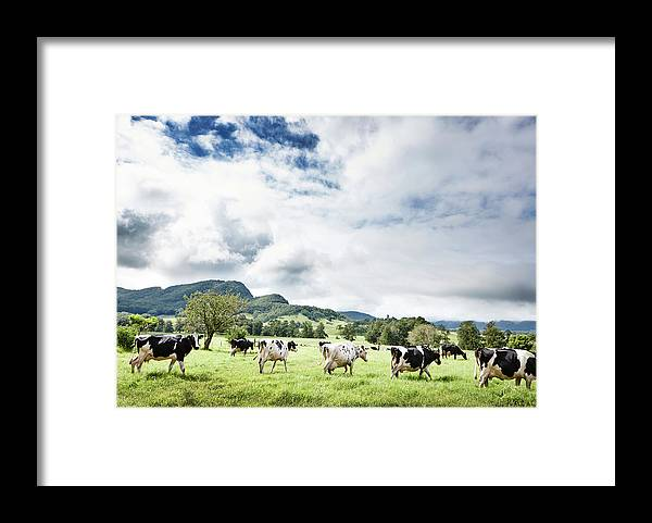 Domestic Animals Framed Print featuring the photograph Cows Walk In Beautiful Paddock by Stuart Miller