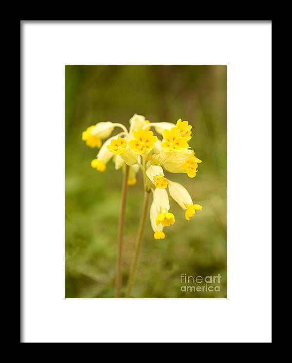 Cowslip Framed Print featuring the photograph Cowslip  Primula Veris by Liz Leyden