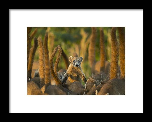 Kevin Schafer Framed Print featuring the photograph Cozumel Island Coati Cozumel Island by Kevin Schafer