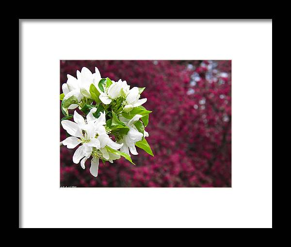 White Framed Print featuring the photograph Crabapple Blooms by Nick Kirby