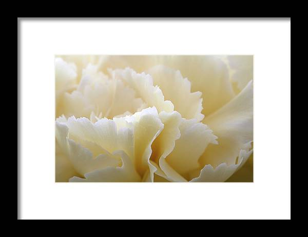 Netherlands Framed Print featuring the photograph Cream Coloured Carnation, Close-up by Roel Meijer