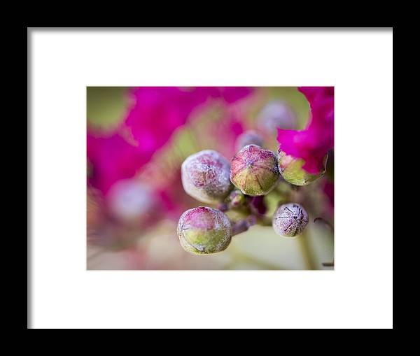 Crepe Myrtle Framed Print featuring the photograph Crepe Myrtle Buds by Valerie Mellema