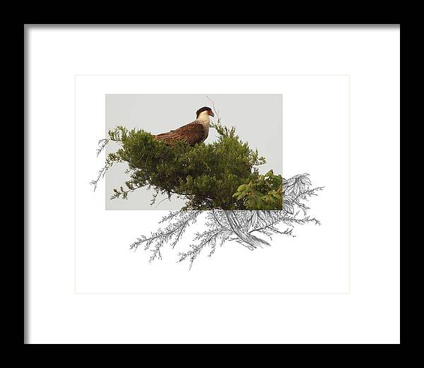 Crested Caracara Framed Print featuring the photograph Crested Caracara by Andrew McInnes