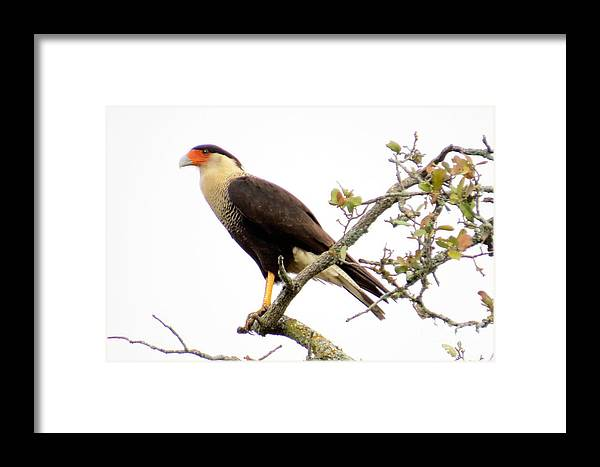 Crested Caracara Framed Print featuring the photograph Crested Caracara by Frank Townsley