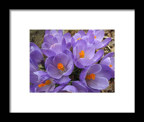 Purple Framed Print featuring the photograph Crocus Cluster II by Lili Feinstein