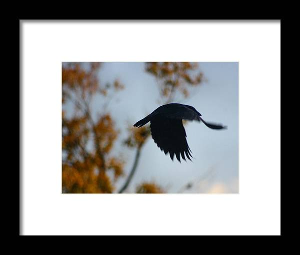 Blackbird Art Framed Print featuring the photograph Crow In Flight 4 by Gothicrow Images